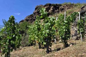Randonnée Alti'Ligérienne - les vignes dans les gorges de l'Allier