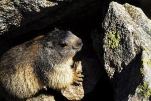 HAUTS PLATEAUX DU MEZENC - marmotte 2 - © Christian Bertholet1024